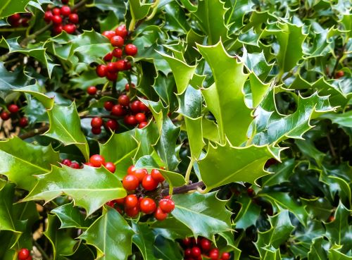 mr-tree-the-holly-and-the-ivy1