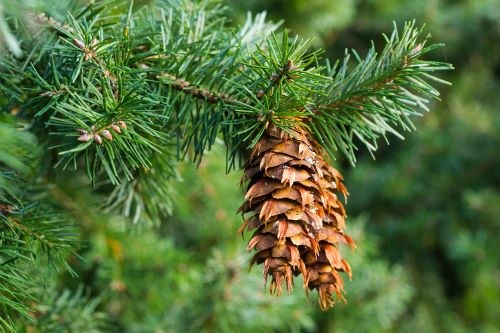 mr-tree-are-spruce-trees-fir-trees-douglas-fir-tree