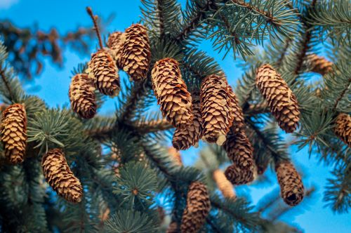 mr-tree-are-spruce-trees-fir-trees-green-spruce-tree