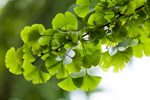 mr-tree-what-type-of-tree-is-in-my-yard-ginkgo